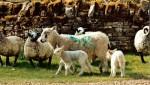 Ruths Sheep bigtl-1