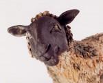 Sheep close up