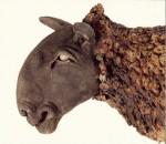 Sheep close up 2